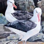 Black-Browed Albatross – Falkland Islands – Sarah James – Portrait Artist in Oils and Pastels – Richmond Art Society – Surrey Art Gallery