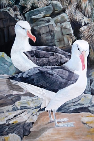 Black-Browed Albatross - Falkland Islands - Sarah James - Portrait Artist in Oils and Pastels - Richmond Art Society - Surrey Art Gallery