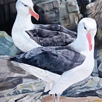 Black-Browed Albatross – Falkland Islands – Sarah James – Portrait Artist in Oils and Pastels – Richmond Art Society – Surrey Art Gallery