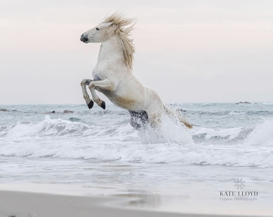 Camargue Horse In The Sea - Equine Photographic Artist - Kate Lloyd - Surrey Art Gallery