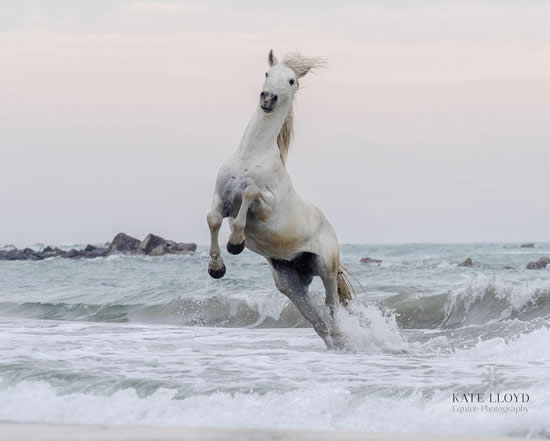 Camargue Horse Playing In The Sea - Equine Photographic Artist - Kate Lloyd - Surrey Art Gallery