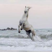 Camargue Horse Playing In The Sea – Equine Photographic Artist – Kate Lloyd – Surrey Art Gallery