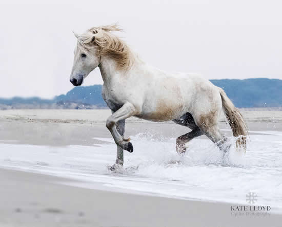 Camargue Horse Trotting In The Sea - Equine Photographic Artist - Kate Lloyd - Surrey Art Gallery