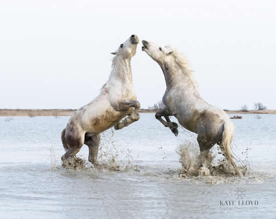 Camargue Horses Playing In The Salt Marshes - Equine Photographic Artist - Kate Lloyd - Surrey Art Gallery