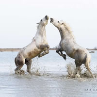 Camargue Horses Playing In The Salt Marshes – Equine Photographic Artist – Kate Lloyd – Surrey Art Gallery