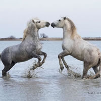 Camargue Horses Playing In The Sea 11 – Equine Photographic Artist – Kate Lloyd – Surrey Art Gallery