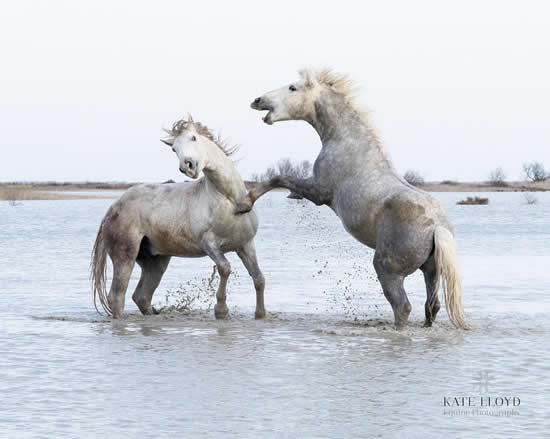 Camargue Horses Playing In The Sea - Equine Photographic Artist - Kate Lloyd - Surrey Art Gallery