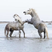 Camargue Horses Playing In The Sea – Equine Photographic Artist – Kate Lloyd – Surrey Art Gallery