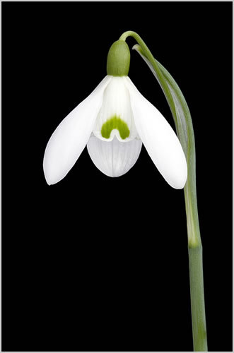 Galanthus S. Arnott - Fine Art Photography - Norfolk Artist - Debbie Monique Jolliff - Gallery