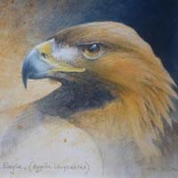 Golden Eagle – Aquila Chrysaetos – David Deamer – Artist in Oils and Pencil Portraits – Surrey Art Gallery – Pirbright Art Club – Woking Society of Arts