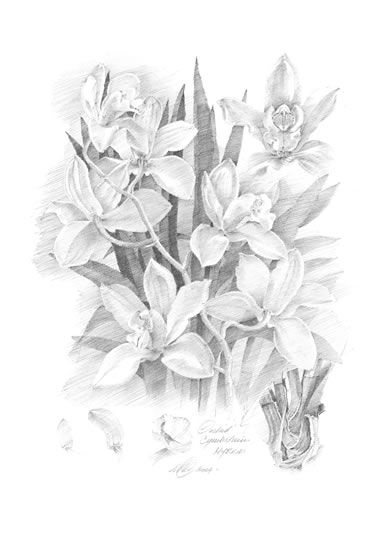 Orchid-Cymbidium-Pencil - Flowers Gallery - Farnham Surrey Artist Michael Walsh - Society of Graphic Fine Art