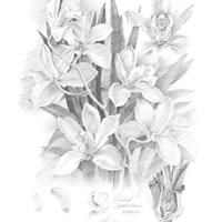 Orchid-Cymbidium-Pencil – Flowers Gallery – Farnham Surrey Artist Michael Walsh – Society of Graphic Fine Art