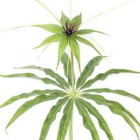 Paris Polyphylla var Stenophylla – Fine Art Photography – Norfolk Artist – Debbie Monique Jolliff – Gallery