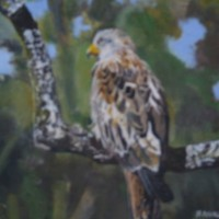 Bird – Red Kite – Rodney Thomas Annetts – Woking Society Of Arts – Surrey Artists Gallery