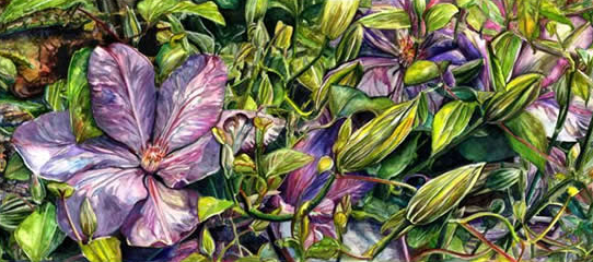 Flowers - Clematis - Susie Lidstone - Surrey Artist Gallery - Society of Floral Painters - Society of Graphic Fine Art (1)