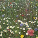 Flower Meadow – inspired by Wisley Gardens – Sicilian Artist Teresa Scannella – Surrey Artists Gallery – White Rose Art Group Woking
