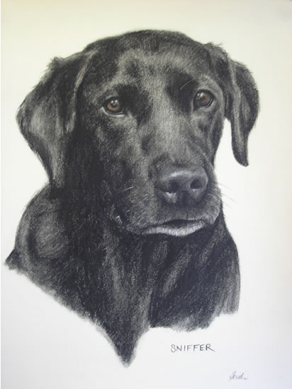 Pet Portraits in Pencil, Charcoal and Pastels - Dog - Sniffer - Labrador - Heidi Meadows - Portrait Artist - Surrey Art Gallery