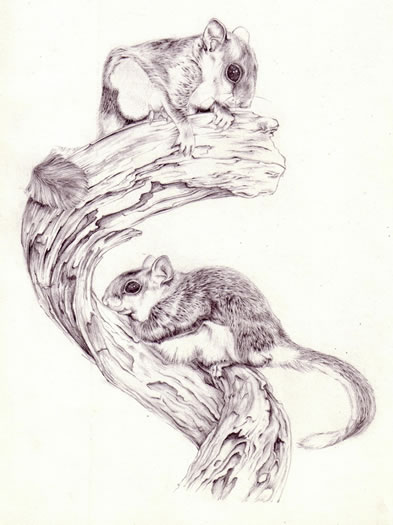 Animal Drawings - Gerbils - Jenny Heath - Watercolour Paintings and Drawings of Animals - Richmond Art Society