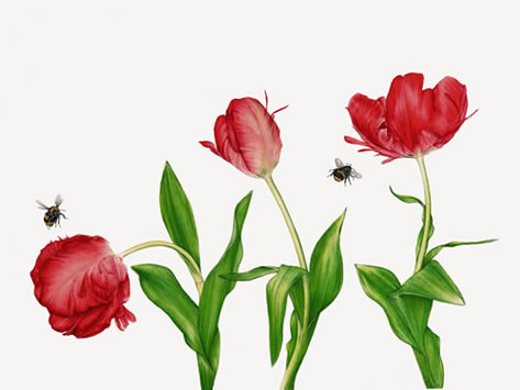 Bees and Red Parrot Tulips - Surrey Artist Fiona Wheeler - Botanical Artist - Society of Floral Painters, Society of Botanical Artists, Guildford Art Society