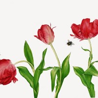 Bees and Red Parrot Tulips – Surrey Artist Fiona Wheeler – Botanical Artist – Society of Floral Painters, Society of Botanical Artists, Guildford Art Society