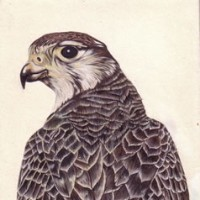 Bird – Peregrine Falcon – Jenny Heath – Watercolour Paintings and Drawings of Plants and Animals – Surrey Artists Gallery