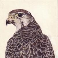Peregrine Falcon - Jenny Heath - Richmond Art Society