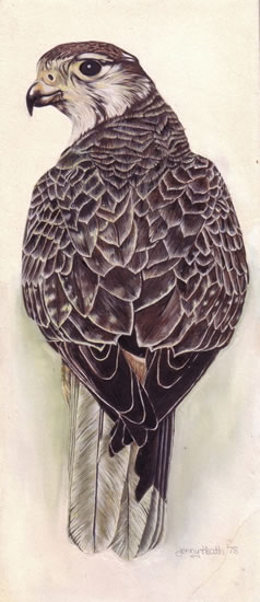 Bird - Peregrine Falcon - Jenny Heath - Watercolour Paintings and Drawings of Plants and Animals - Surrey Artists Gallery