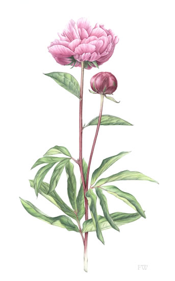 Flower - Pink Peony - Fiona Wheeler - Botanical Artist - Society of Floral Painters, Society of Botanical Artists, Guildford Art Society