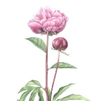 Flower – Pink Peony – Fiona Wheeler – Botanical Artist – Society of Floral Painters, Society of Botanical Artists, Guildford Art Society