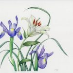 Lily and Irises – Surrey Artist Fiona Wheeler – Botanical Artist – Society of Floral Painters, Society of Botanical Artists