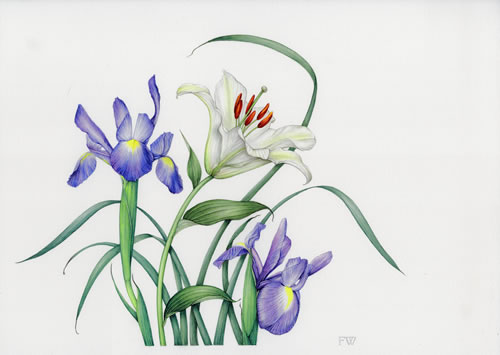 Flowers - Lily and Irises - Surrey Artist Fiona Wheeler - Botanical Artist - Society of Floral Painters, Society of Botanical Artists