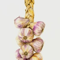 Garlic – Fiona Wheeler – Surrey Gallery – Botanical Artist – Society of Floral Painters, Society of Botanical Artists, Guildford Art Society