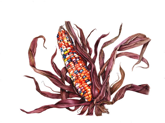 Indian Corn on the Cob - Fiona Wheeler - Botanical Artist - Society of Floral Painters, Society of Botanical Artists, Guildford Art Society