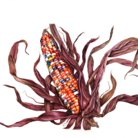 Indian Corn on the Cob – Fiona Wheeler – Botanical Artist – Society of Floral Painters, Society of Botanical Artists, Guildford Art Society