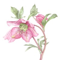 Plant – Hellebore – Jenny Heath – Watercolour Paintings and Drawings of Plants and Animals – Surrey Artists Gallery