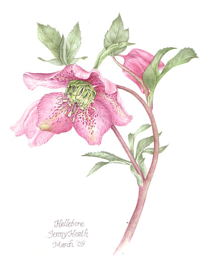 Plant - Hellebore - Jenny Heath - Watercolour Paintings and Drawings of Plants and Animals - Surrey Artists Gallery