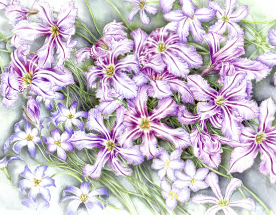 Plant - Leucocoryne - Jenny Heath - Watercolour Paintings and Drawings of Plants and Animals - Surrey Artists Gallery