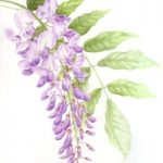 Plant – Wisteria – Jenny Heath – Watercolour Paintings and Drawings of Plants and Animals – Surrey Artists Gallery