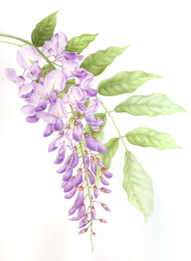 Plant - Wisteria - Jenny Heath - Watercolour Paintings and Drawings of Plants and Animals - Surrey Artists Gallery