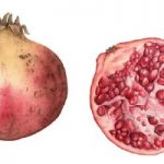 Pomegranates – Fiona Wheeler – Botanical Artist – Society of Floral Painters, Society of Botanical Artists, Guildford Art Society