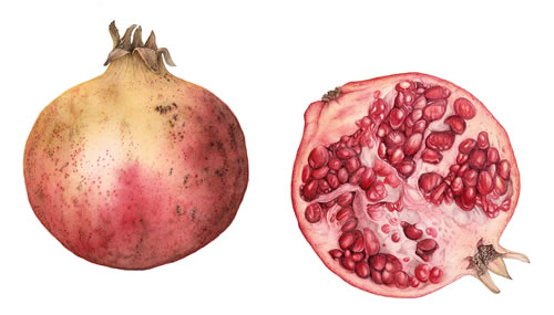 Pomegranates - Fiona Wheeler - Botanical Artist - Society of Floral Painters, Society of Botanical Artists, Guildford Art Society