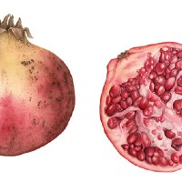 Pomegranates – Fiona Wheeler – Botanical Artist – Society of Floral Painters, Society of Botanical Artists, Guildford Art Society