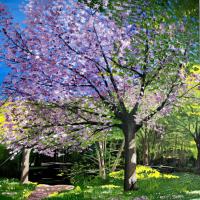 Cherry Tree in Full Bloom – Purley Surrey Artist Maggie Jukes – Surrey Art Gallery