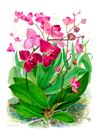 Flowers - Phalaenopsis - Watercolour and Gouache - Rochester-based SGFA Artist Michael Walsh
