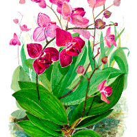Flowers – Orchids – Phalaenopsis – Watercolour and Gouache – Rochester-based SGFA Artist Michael Walsh